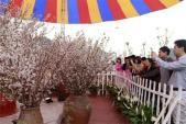 Rực rỡ lễ hội hoa anh đào Hạ Long 2015