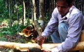 Quảng Ngãi: Quế Trà Bồng được giá