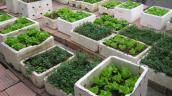 Tự trồng rau ăn, coi chừng nhiễm độc