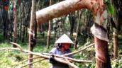 Phú Yên: Nông dân chặt hạ hơn 6ha cây cao su gần 10 năm tuổi