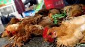 Bộ Y tế vào cuộc vụ phát hiện ổ cúm gia cầm ở Ninh Thuận