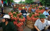 Chính phủ chỉ đạo mở rộng thị trường xuất khẩu quả vải tươi