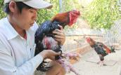Cử nhân xây dựng thu trăm triệu từ gà hiếm, chim quý