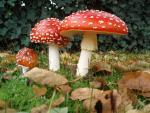 Ngộ độc nấm tăng cao: Cục An toàn thực phẩm ra khuyến cáo