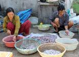 Người dân lại xới tung bãi biển tìm địa sâm bán cho thương lái Trung Quốc
