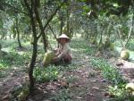 Mít Thái đầy vườn, giá rớt thê thảm