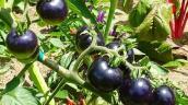 TP.HCM: Nhiều loại cà chua lạ được người dân săn đón