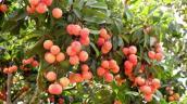 Miễn phí kiểm dịch thực vật đối với quả vải