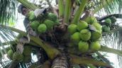 Giá dừa tại miền Trung tăng mạnh