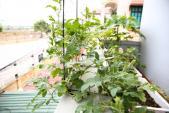 """Vườn rau sạch """"3 năm tuổi"""" lúc lỉu khế, dưa, ổi,...trồng chậu"""