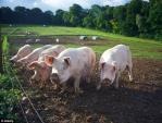 Nắng nóng kỷ lục, nông dân Ý lắp điều hòa, quạt phun sương cho bò và lợn