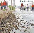 Tây Ninh xuất hiện nhiều ễnh ương bất thường