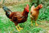Bí quyết chọn thịt gà tươi ngon, an toàn cho sức khỏe
