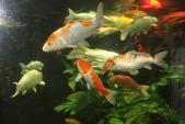 Phong thủy: Cách nuôi cá để nhà đẹp, vượng tài lộc
