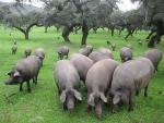Choáng váng: Thịt lợn đen giá 10 triệu đồng/kg