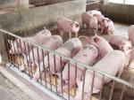 Gom lợn bán sang Trung Quốc đẩy giá thịt lợn tăng