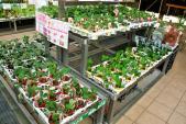 Du học sinh thích thú trồng dâu tây tại vườn 3m2