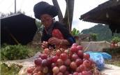 Lai Châu: Người dân đua nhau bán nho không rõ nguồn gốc