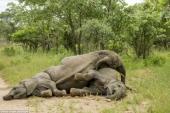 """Khám phá loại quả Marula khiến voi ăn cũng """"chân nam đá chân chiêu"""
