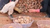 Khoai tây mọc mầm gây độc