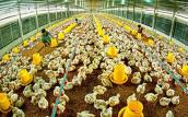 Ngành chăn nuôi: Vay vốn lãi suất cao, cạnh tranh kiểu gì?