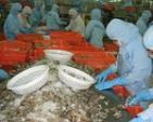 DN Việt giảm giá tôm xuất khẩu