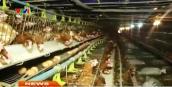 Nhiều người dân chuyển từ nuôi gà thịt sang gà đẻ trứng