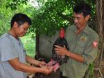 Làm sao để giống gà Đông Tảo không bị