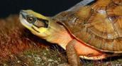 Bắt được cặp rùa vàng 800 triệu ở Huế