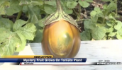 Định lừa đài truyền hình bẳng quả lạ lai giữa dưa hấu và cà chua