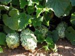10.000 đồng một hạt giống dưa chuột gai Nam Phi
