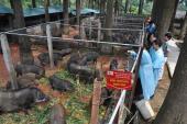 Cận cảnh trang trại lợn rừng hữu cơ độc đáo ở VN