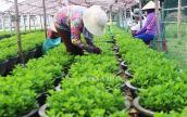 Chùm ảnh: Nông dân hối hả vào vụ trồng hoa cúc Tết