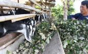 Giá táo ngon còn 1.000 đồng/kg, dân cho bò ăn