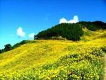 Mùa vàng ở Đà Lạt – mùa hoa dã quỳ