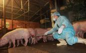 Hà Nội che giấu thông tin dùng chất cấm nuôi lợn?
