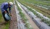 TQ thuê hàng trăm hecta trồng dưa hấu ở Lào, Campuchia