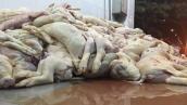 Hàng trăm heo sữa chết trương sắp lên bàn nhậu