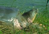 Xem lại những hình ảnh của cụ Rùa hồ Gươm khi còn sống