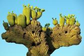 Xương rồng Saguaro – gã khổng lồ trên sa mạc