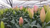 Mẹo giữ hoa ly tươi lâu, nở đẹp ngày Tết