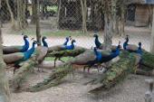 Mua chim công chơi Tết, cầu tài lộc, quyền quý