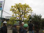 Cây mai cổ rao giá 2 tỉ đồng ở Đà Nẵng