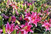 Mẹo chọn hoa ly đẹp và giữ tươi lâu dịp Tết