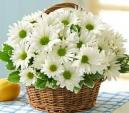 Hoa cúc tượng trưng cho điều gì trong phong thủy?