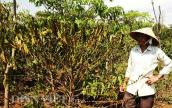 Khô hạn nhất 30 năm: Cà phê Tây Nguyên hóa củi
