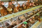 Mở cửa nhập khẩu gia cầm Trung Quốc và Việt Nam: Cẩn thận rước họa vào nhà