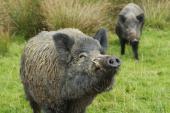 Tràn ngập lợn rừng đột biến ở Fukushima