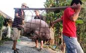 Nuôi lợn siêu mỡ - nông dân khóc ròng vì thương lái Trung Quốc