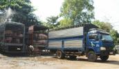 Vì sao thương lái Trung Quốc ồ ạt mua lợn với giá cao?